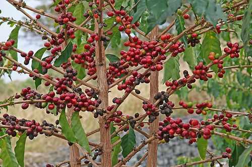 Кофе дерево