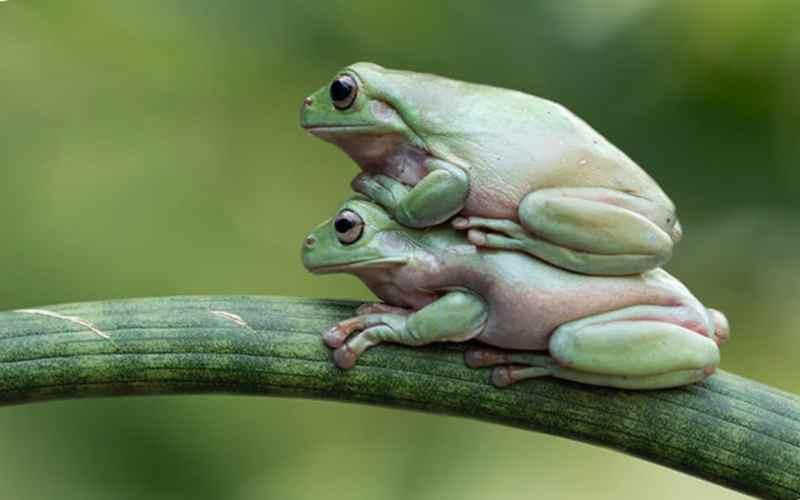 Лягушка везет другую лягушку