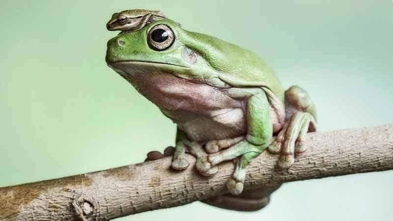 Лягушка носит лягушонка на голове