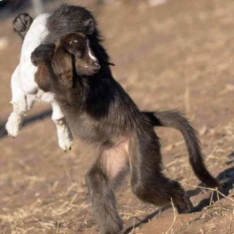 Бабуин носит козленка на руках