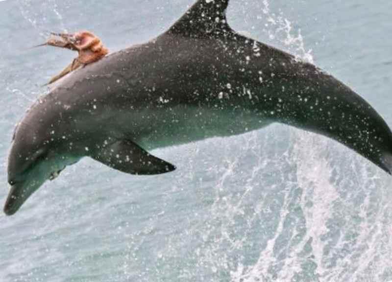 Осьминог путешествует на дельфине