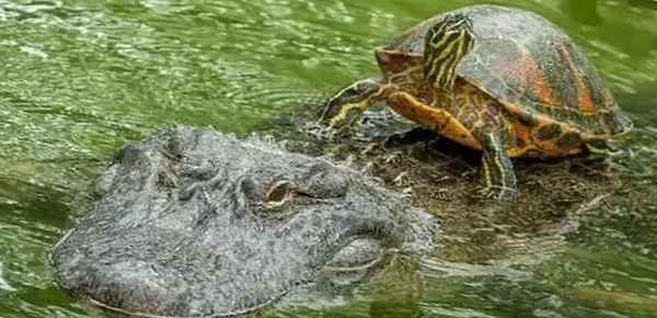 Аллигатор везет черепаху через речку