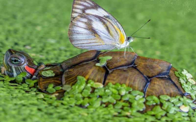 Бабочка на спине черепахи