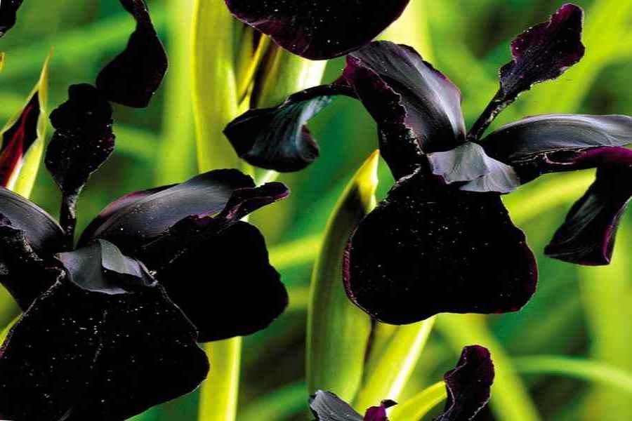 Черный ирис
