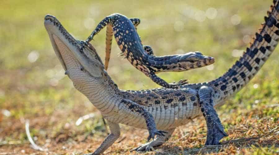 Ящерица катается на крокодиле