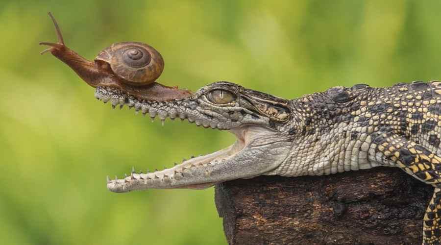Улитка на пасти крокодила