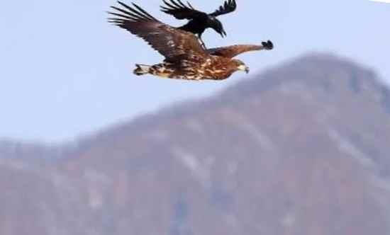 Ворона верхом на орле
