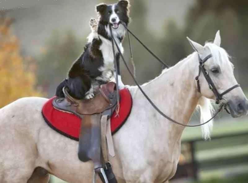 Собака верхом на лошади