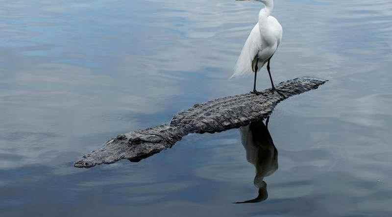 Цапля на спине у крокодила
