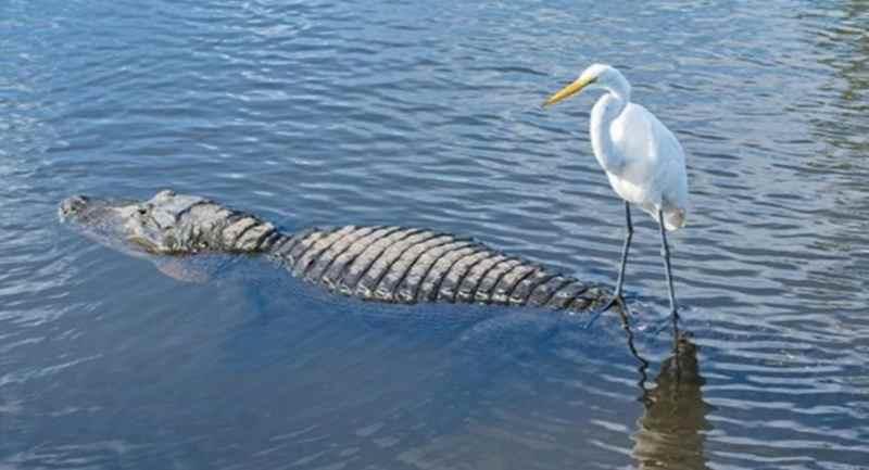Цапля ловит рыбу с крокодила