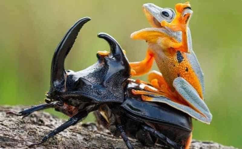 Лягушка верхом на жуке - носороге
