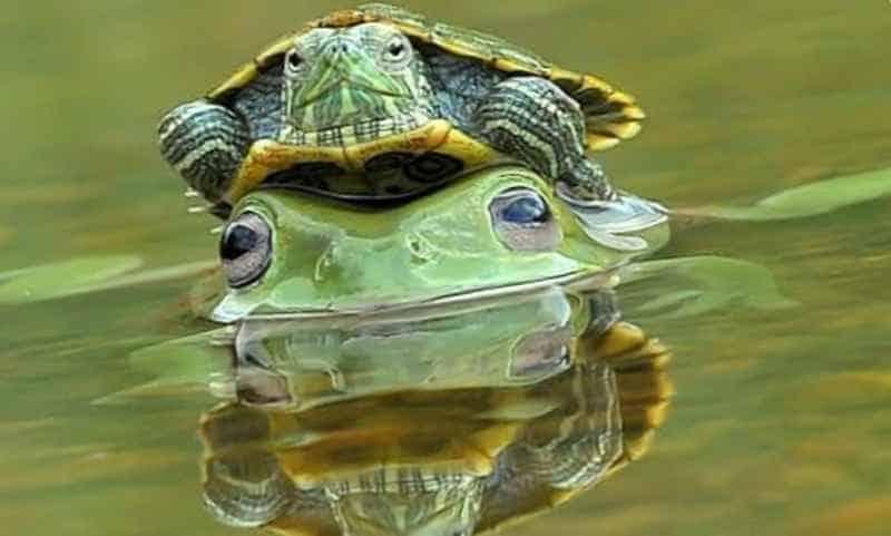 Черепаха на лягушке
