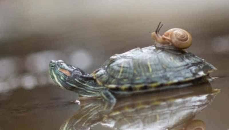 Улитка катается на черепахе