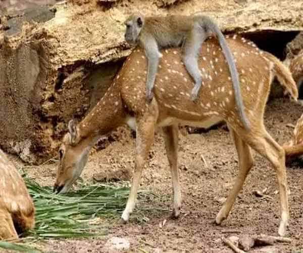 Обезьянка на спине у оленя