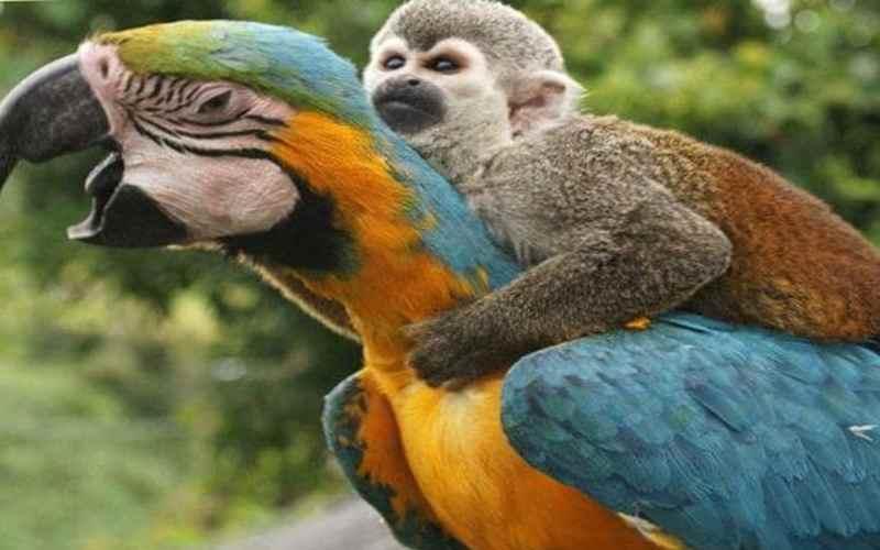 Ленивая обезьяна верхом на попугае