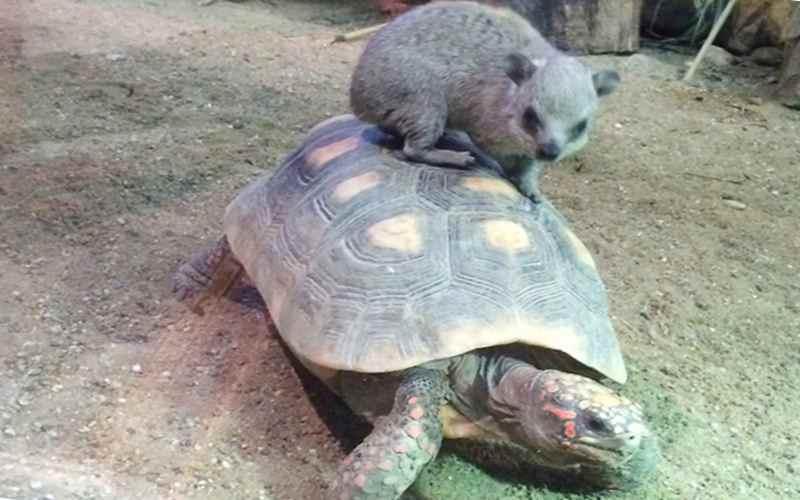 А даман на черепахе