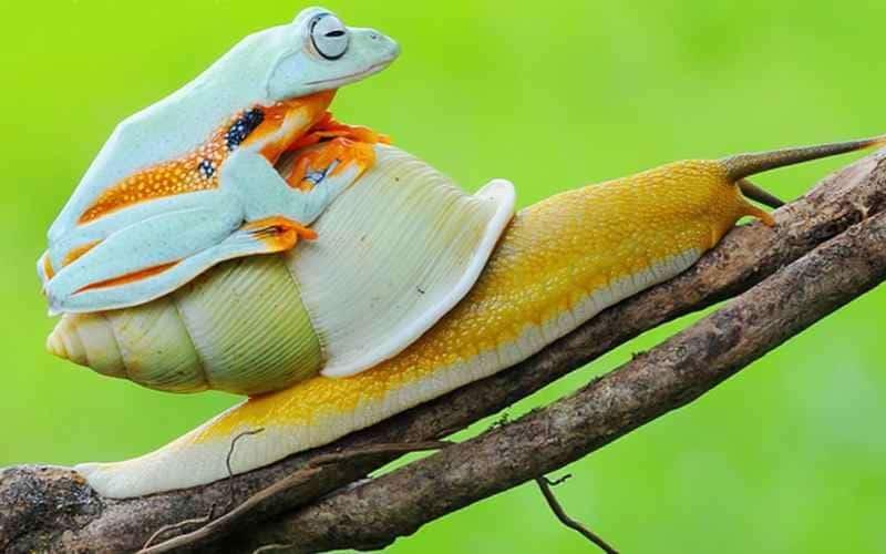 Лягушка на спине у улитки