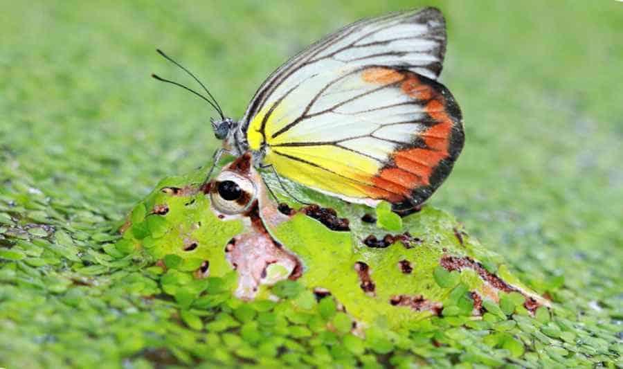 Бабочка на лягушке