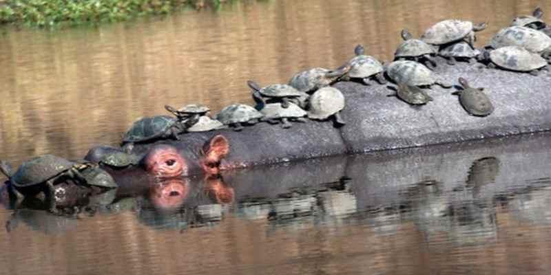 Бегемот и черепахи