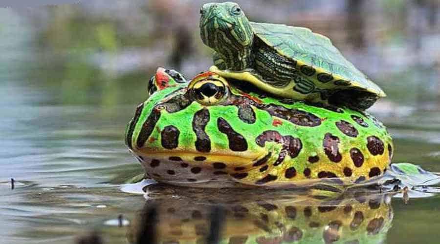 Черепашонок верхом на лягушке