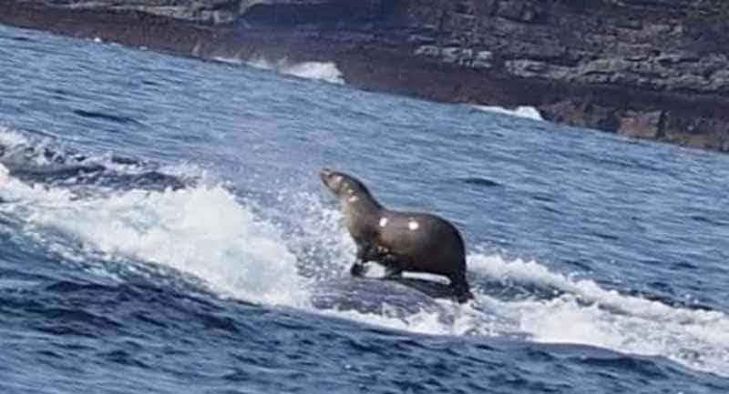 Тюлень верхом на спине у огромного кита