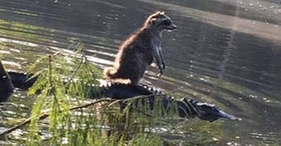 Енот верхом на крокодиле