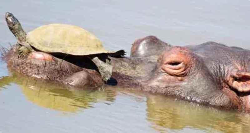 Бегемот как водное такси для черепахи