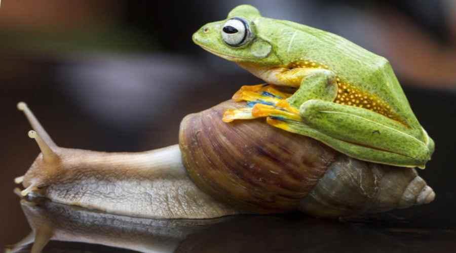 Лягушка на улитке как на такси