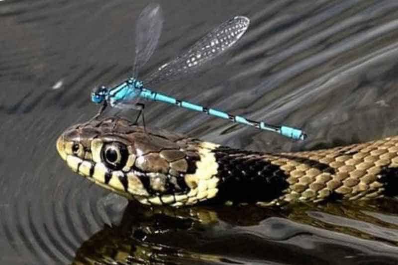 Стрекоза и змея