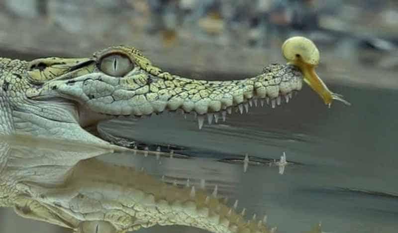 Улитка ползет по крокодилу