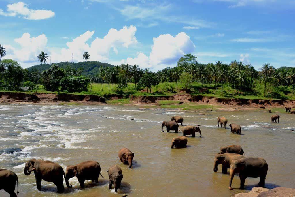 Знаменитый Слоновый питомник, Шри-Ланка