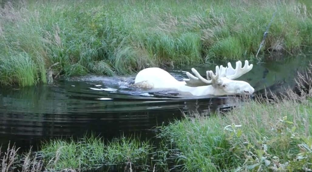 Редкий белый лось