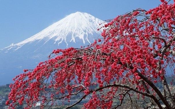 Цветущая Сакура, Япония.