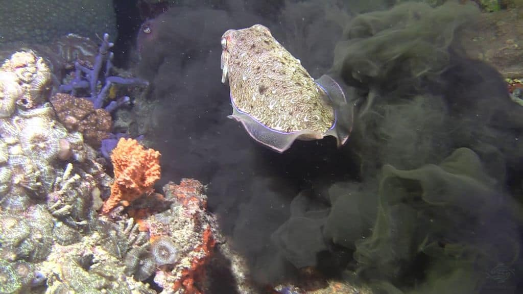 Каракатица выпускает чернила