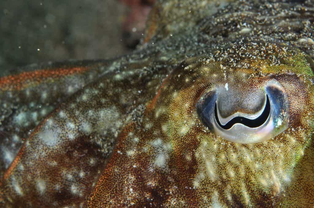 Строение глаза каракатицы
