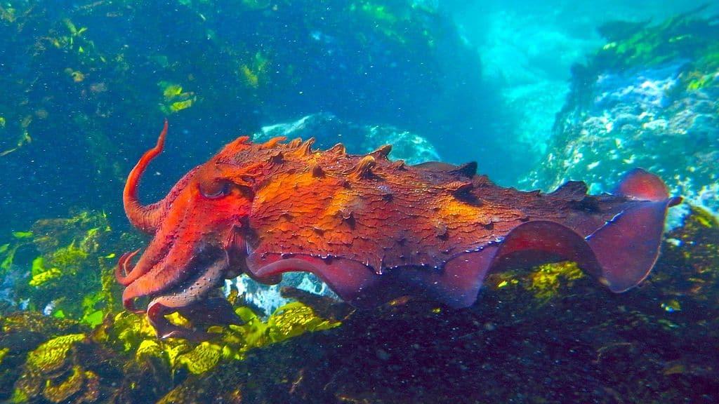 Большая каракатица