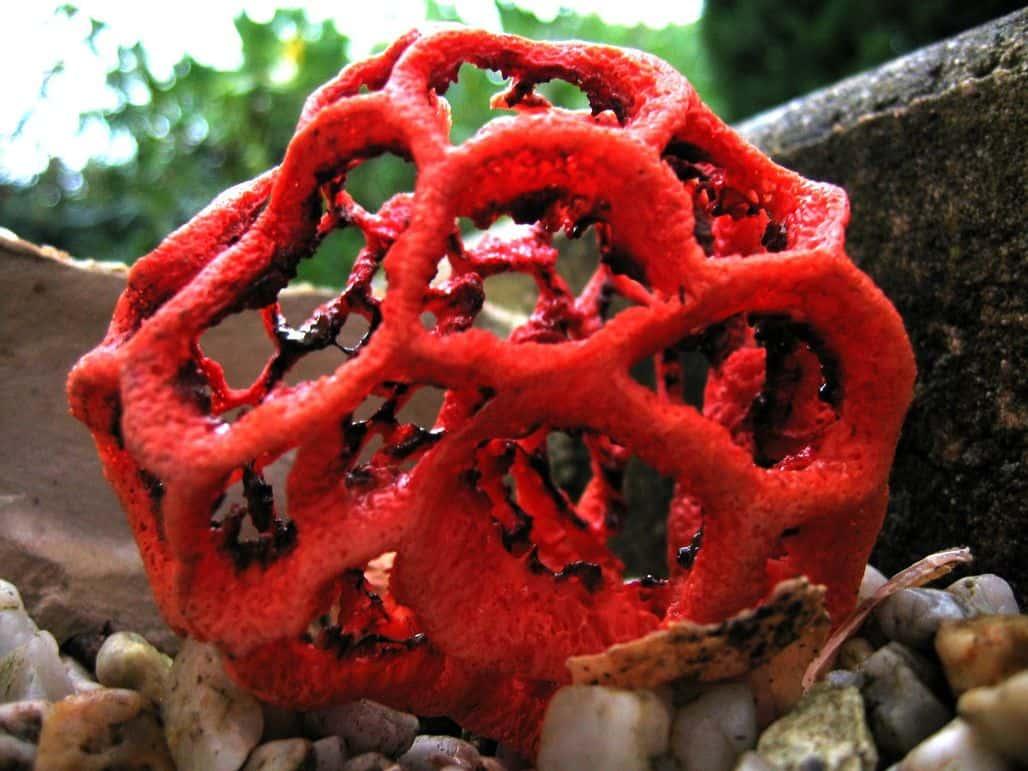 Красный Клатрус