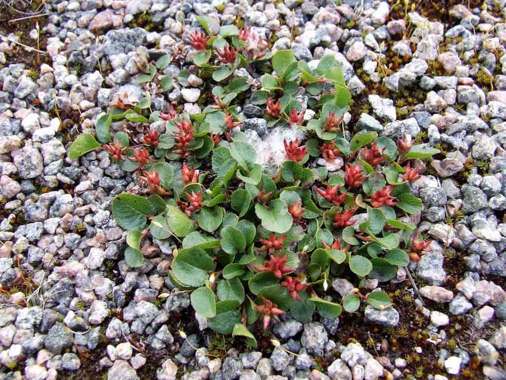Salix Herbacea