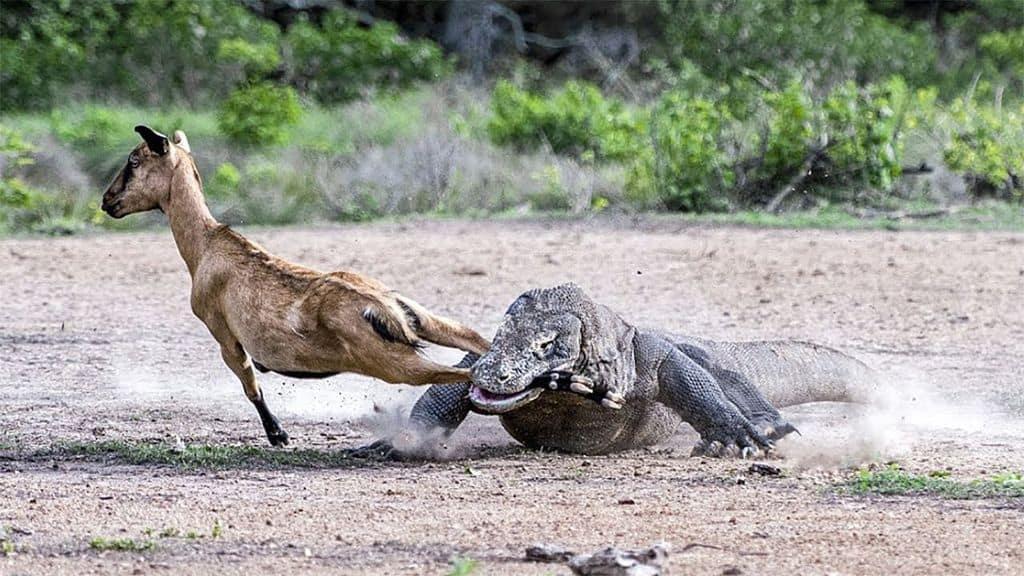 Как охотится комодский варан