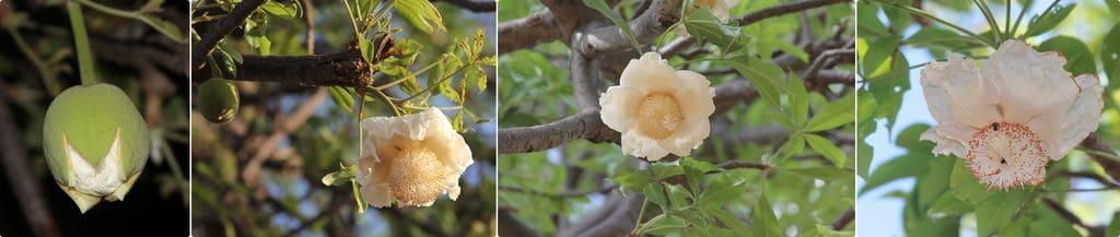 Жизненный цикл цветка баобаба