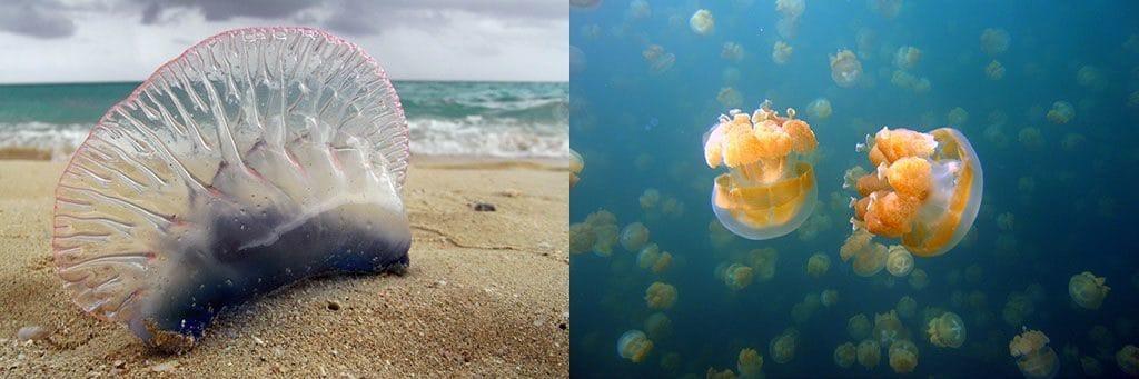Физалия и медуза