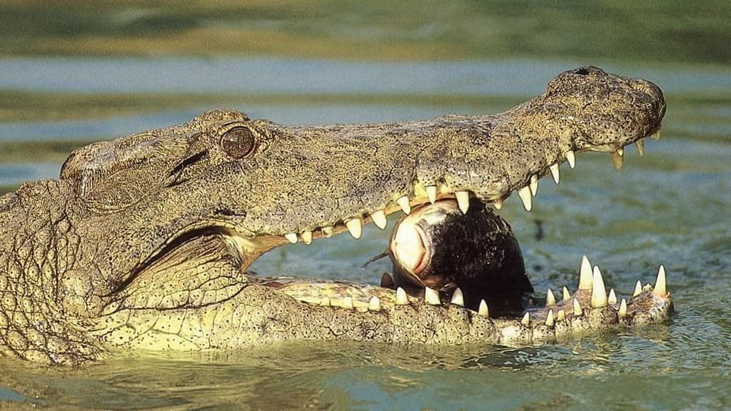 Физиологические особенности крокодила