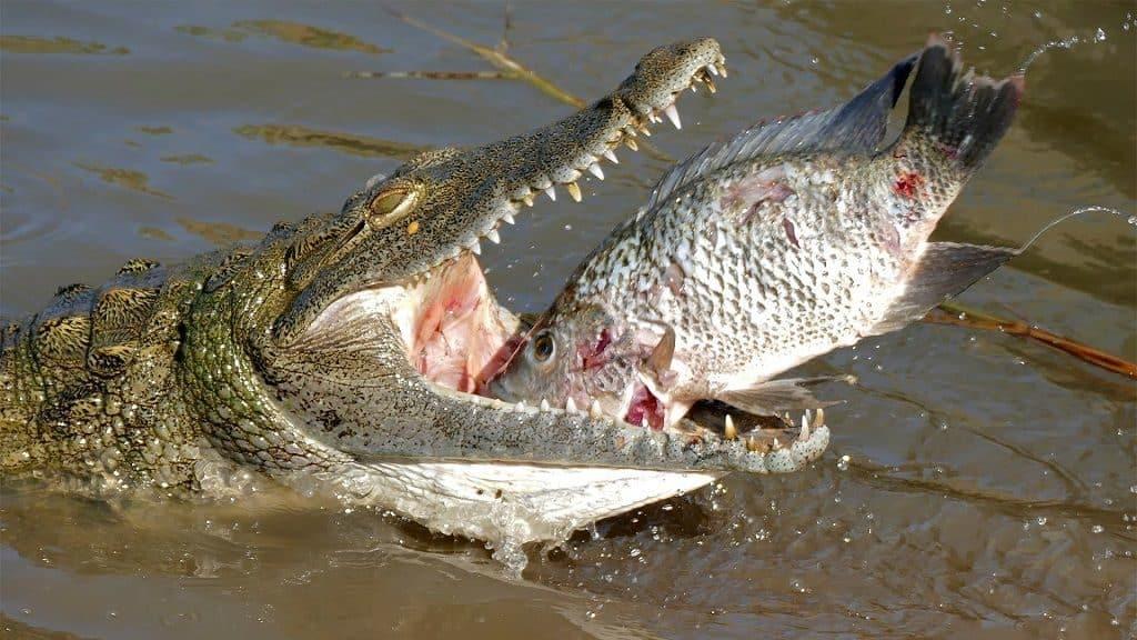 Особенности пищеварительной системы крокодила
