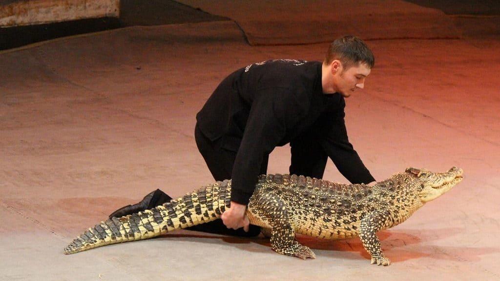 Дрессированные крокодилы