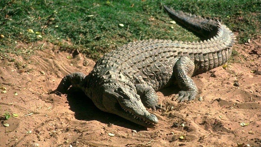Крокодил на суше