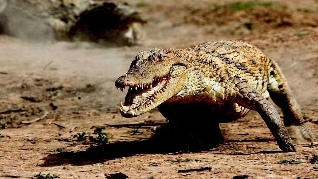 Крокодил бегает со скоростью 12 км/час