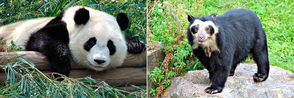 Панда и очковый медведь