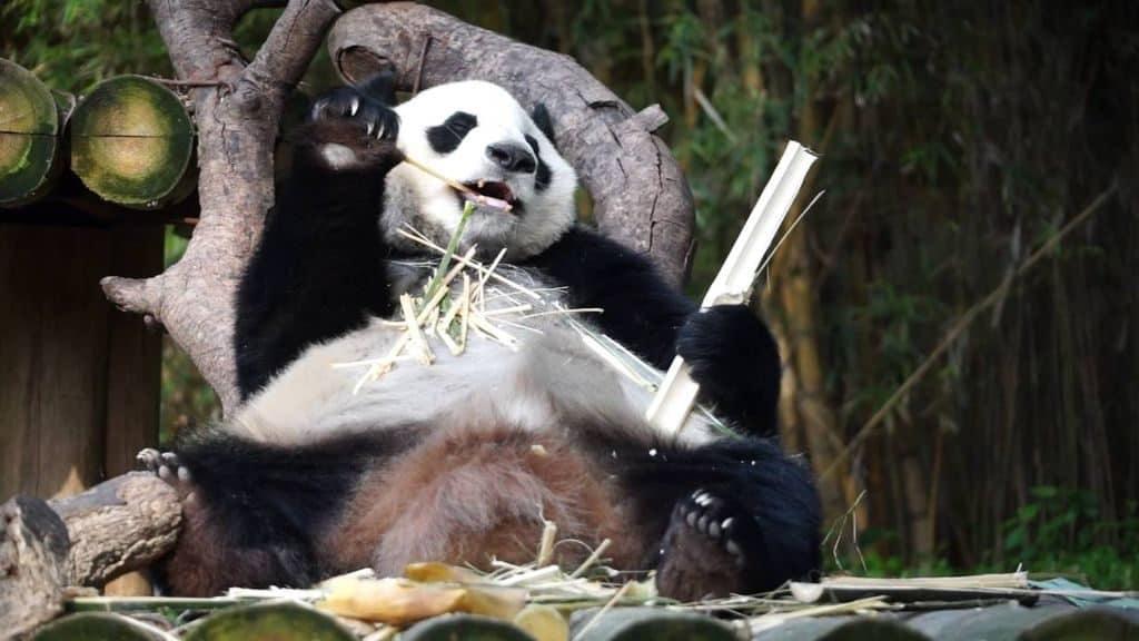Панда ест бамбук
