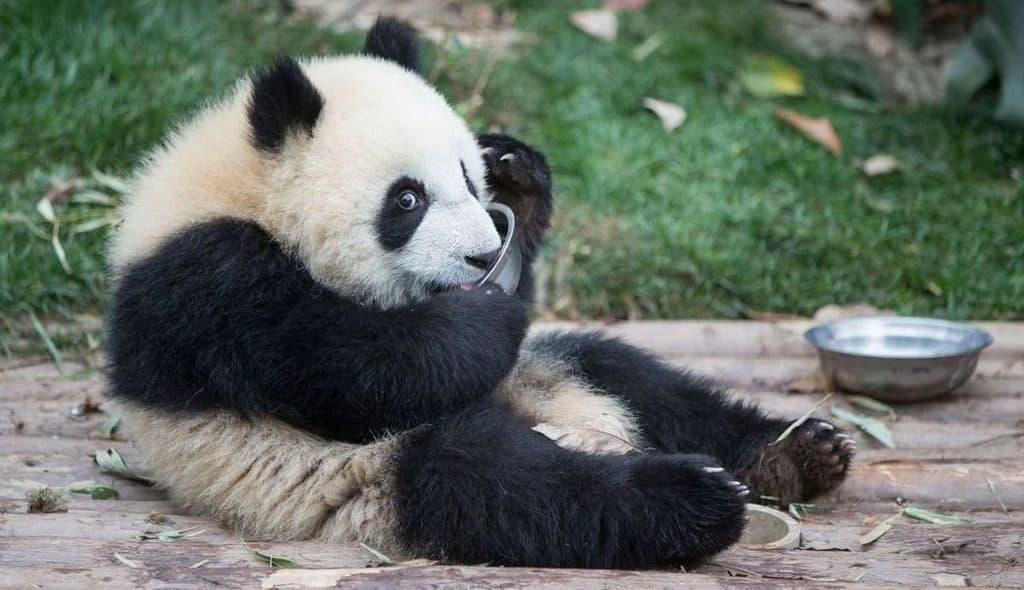 Панда и миска