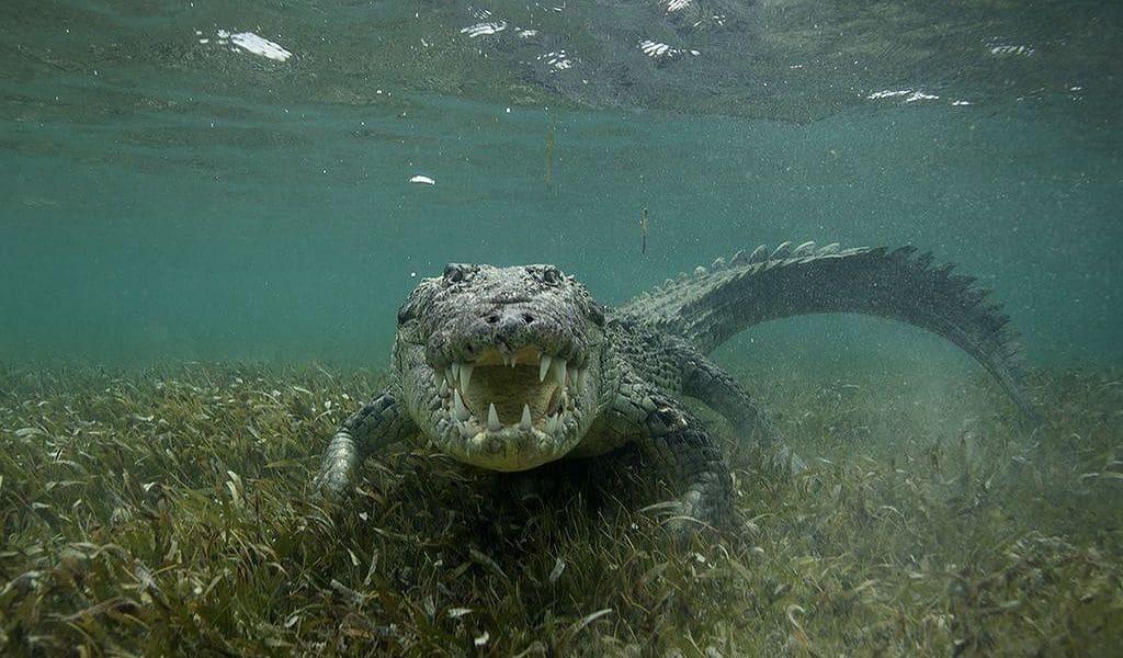 Крокодил в Карибском море